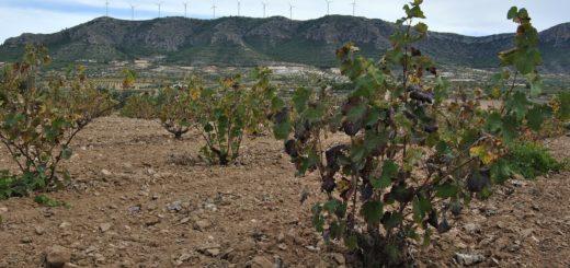 evolution climatique et impacts sur le vin